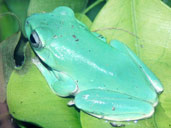 Whites Tree Frog - Sitting on a bed of leaves