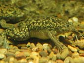 Wild phase African Clawed Frogs