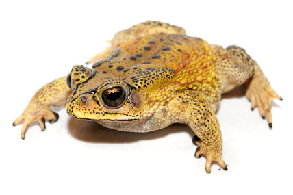 Black-Spined Toad photo by Brian Gratwicke