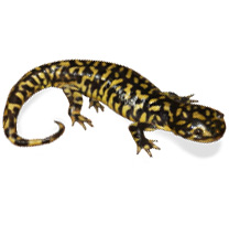 Tiger Salamander -  Ambystoma tigrinum Care Sheet