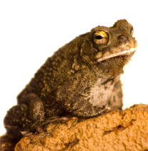 Sqaure marked toad - Bufo Regularis Care Sheet - Click to open