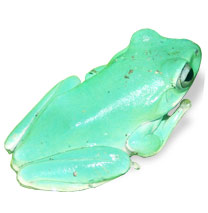 Whites Tree Frog Litoria caerulea - Care Sheet click to open