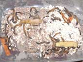 Mealworm Colony