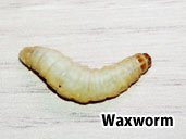 Waxworm - Easy to digest weight Builders
