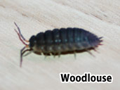 Woodlouse- suitable prey item for a Square Marked Toad